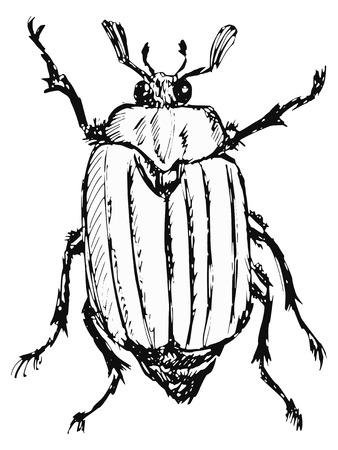 scavenging: hand drawn, doodle, sketch illustration of chafer Illustration