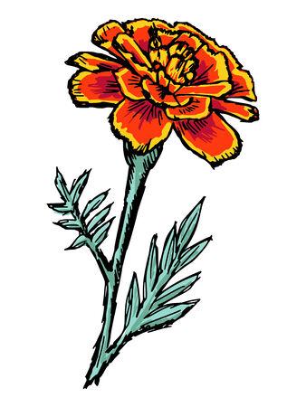 cempasuchil: dibujado a mano, ilustraci�n boceto de cal�ndula