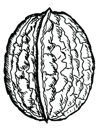 walnut: hand drawn, sketch illustration of walnut