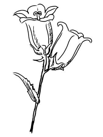 campanula: hand draw, sketch illustration of campanula