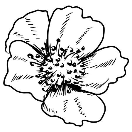 hand drawn, sketch, doodle illustration of primrose