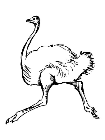 hand drawn, sketch illustration of ostrich