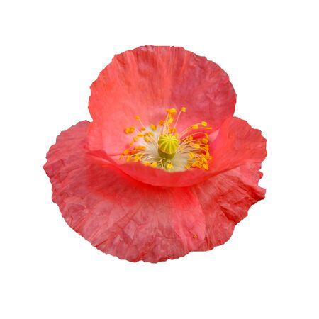 oriental poppy: red poppy on white background, summer motive