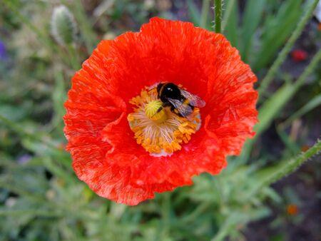 oriental poppy: red poppy on meadow, summer motive