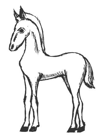 foal:  illustration of foal