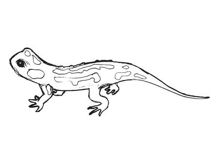 salamandra: ilustraci�n de salamandra Vectores