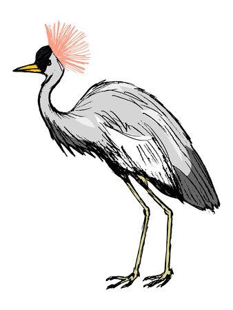 crowned: African crowned crane, illustration of wildlife, bird, zoo, safari