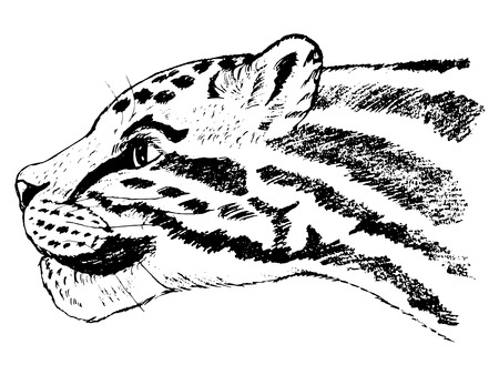 Hand drawn illustration of clouded leopard