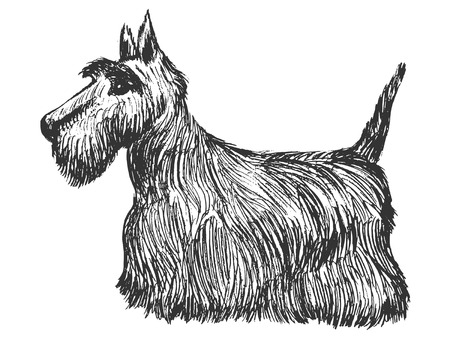 Hand drawn illustration of scottish terrier 일러스트