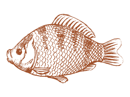 vector, sketch, hand drawn illustration of crucian