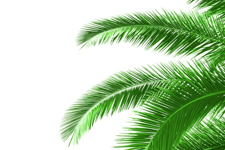 palm tree leaves isolated on white Stock Photo