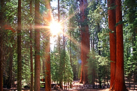 beautiful sequoia forest in sun rayes photo