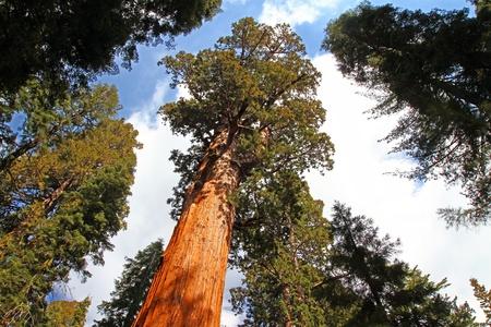 big tree: General Sherman tree in Sequoia National Park, California
