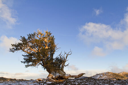 bristlecone pine forest and blue sky photo