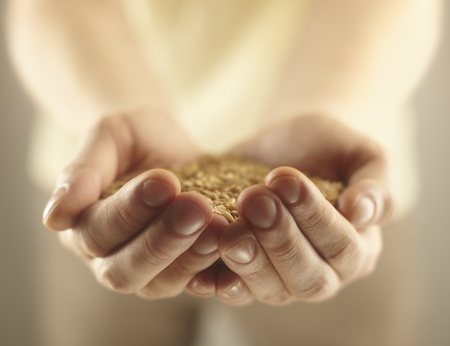 handful: Wheat grains in the male hands. Harvest concept