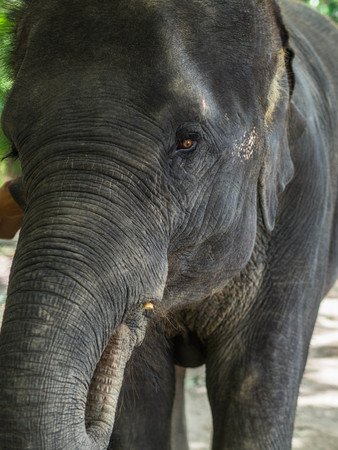 Portrait of a young asian elephant puts food by the trunk in his mouth