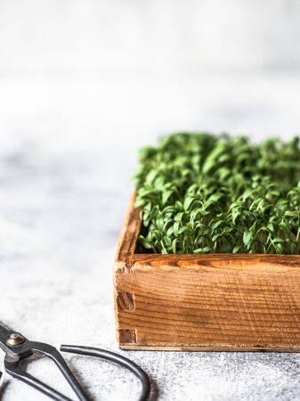 fresh watercress salad micro greens sprouts in wood box and scissors on grey background. Healthy balanced food concept. Copy space