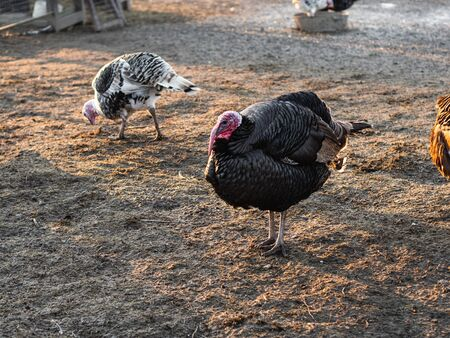 Turkeys in the poultry yard in winter Stock Photo