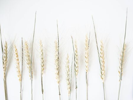 Ears of wheat of a light green pastel shade on a white background. Top view. copy space