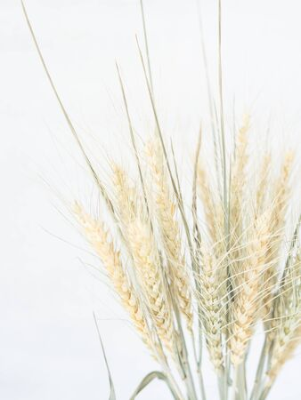 Bouquet Ears of wheat of a light green pastel shade in vase on a white background. Top view. copy space