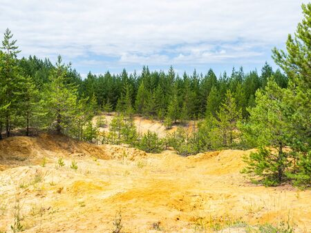 Yellow clay and sand meadow with a young green pine forest against a blue sky