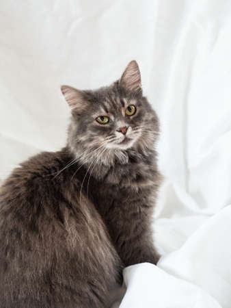 Gray fluffy adult cat sits in half-turn and looks against. White textile background