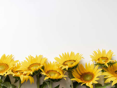 Flat lay of yellow sunflower flowers on white background isolated. Top view. Nature, spring and summer concept Banque d'images