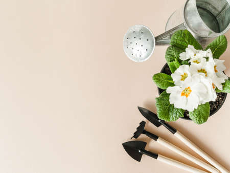 Flat lay composition with white primroses flowers in pots, metal watering can and garden tools on beige background. Garden concept. Top view. Copy space