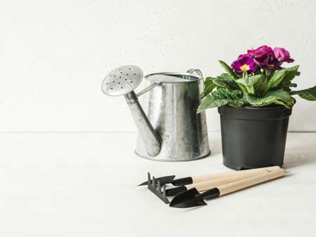 Composition with pink primroses flowers in pots, metal watering can and garden tools on white background. Garden concept. Front view. Copy space