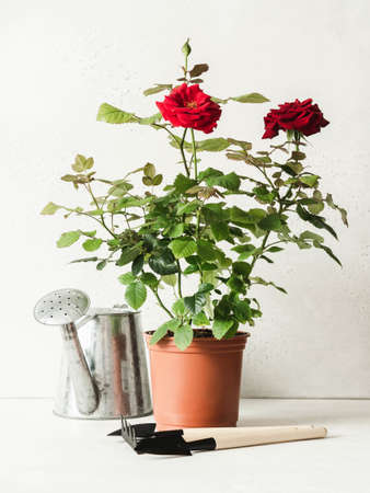 Composition with red rose flowers in pots, metal watering can and garden tools on white background. Garden concept. Front view. Copy space