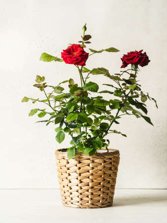 Composition with red rose flowers in pots on white background. Front view. Copy space