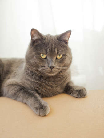Gray smooth-haired cat with yellow eyes sits relaxed on the back of the sofa