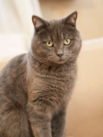 Gray smooth-haired cat with yellow eyes sits relaxed on the sofa