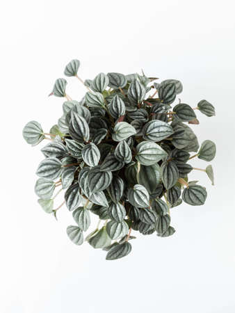Peperomia argyreia houseplant with beautifully patterned leaves on white background. Natural texture, top view. Indoor gardening.