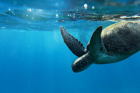 schildkr�te: Meeresschildkr�te mit Sonnenlicht