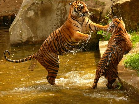 Tigers fighting