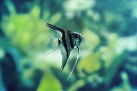 scalar: Scalar goldfish