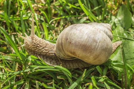 Garden snail in grass