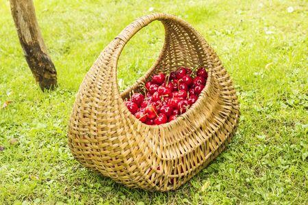 Cherries in the basket Stock fotó