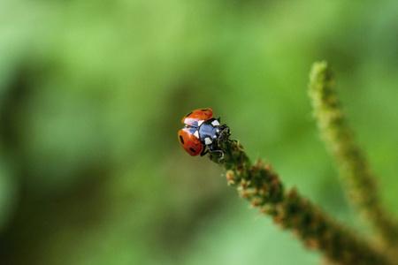 Ladybug on the stem