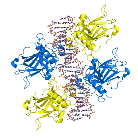 Ribbon model of p53 protein bound to DNA molecule  p53  aka tumor protein 53  is a transcription factor whose inactivation can trigger the onset of cancer   photo