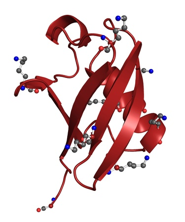 enzyme: Ribbon model of ubiquitin, protein that directs other proteins to various cellular compartments or marks them for destruction  Lysine side-chains and C-terminus depicted as ball-and-stick