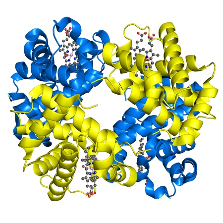 Human hemoglobin in its oxy- state. Alfa and beta subunits are coloured yellow and red  photo