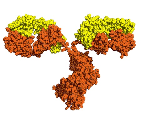 antibody: Antibody, space-filling model. Light and heavy chains are colored yellow and orange, respectively. Stock Photo