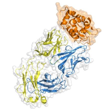 Antibody molecule bound to an antigen (orange). Ribbon representation with transparent surface, isolated on white. Stock Photo