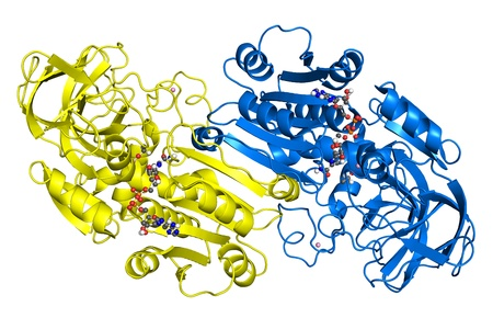 enzyme: Alcohol dehydrogenase, crystallographic structure. Subunits are shown in different colors, while ligands are depicted as ball-and-stick models.