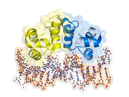 bacteriophage: Bacteriophage lambda Cro repressor protein bound to DNA.