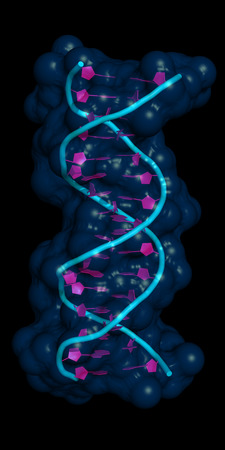 conformation: DNA molecule, 18 base-pairs in B-DNA conformation. Cartoon model with semi-transparent surface.