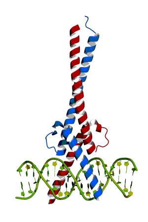 c-Myc and Max transcription factors bound to DNA. Cartoon model.