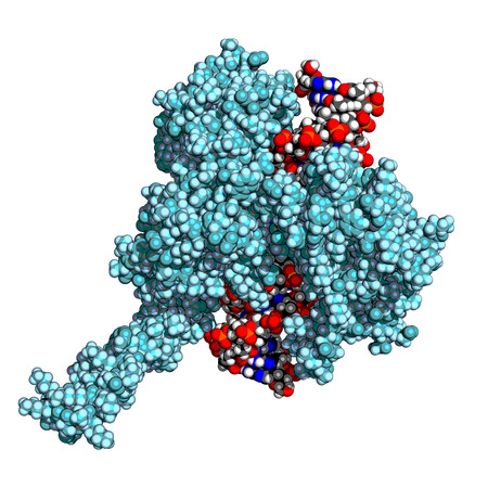Human topoisomerase I bound to double-stranded DNA. Topoisomerases are enzymes that regulate the winding of DNA helix. Stylized space-filling model.